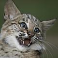 A Bobcat At A Wildlife Rescue Members by Joel Sartore