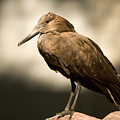 A Hammerkop At The Lincoln Childrens by Joel Sartore
