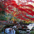 A Japanese Maple With Colorful, Red by Darlyne A. Murawski