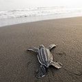 A Leatherback Sea Turtle Hatchling by Joel Sartore