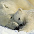 A Polar Bear And Her Cub Napping by Norbert Rosing