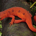 A Red Eft Crawls On The Forest Floor by George Grall