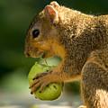 A Red Fox Squirrel Chews On A Walnut by Joel Sartore