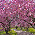 A Walk Down Cherry Blossom Lane by Cindy Lee Longhini