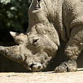 A White Rhino Sniffs The Dust by Joel Sartore