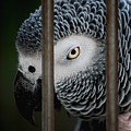 African Grey by Robert Meanor