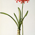 Amaryllis Curvifolia by Pierre Redoute