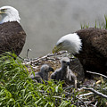 American Bald Eagles, Haliaeetus by Roy Toft