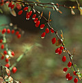 American Barberry with Raindrops