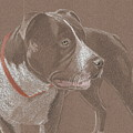 American Pit Bull Terrior 1 by Stacey Jasmin
