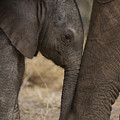 An Elephant Calf Finds Shelter Amid by Michael Nichols