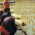 An Italian Rice Field by Angelo Morbelli