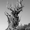 Ancient Bristlecone Pine by Daniel Ryan