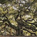 Angel Oak Tree Live Oak  by Dustin K Ryan