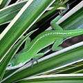 Anole Hiding In Spider Plant by Lucyna A M Green