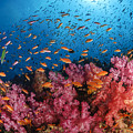 Anthias Fish And Soft Corals, Fiji by Todd Winner