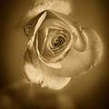 Antique Soft Rose by M K  Miller