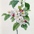 Apple Blossom by Pierre Joseph Redoute