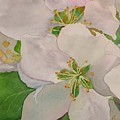 Apple Blossoms by Sharon E Allen