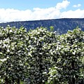 Apple Trees In Bloom     by Will Borden