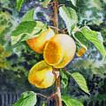 Apricots In The Garden by Irina Sztukowski