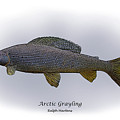 Arctic Grayling by Ralph Martens