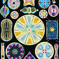 Art Of Diatom Algae (from Ernst Haeckel) by Mehau Kulyk