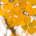 Aspen Leaves by James BO  Insogna