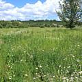Aspen tree in meadow with wild flowers