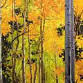 Aspen Trees by Gary Kim