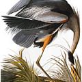 Audubon: Heron by Granger