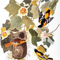 Audubon: Oriole by Granger
