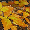 Autumn Beech  by Michael Peychich