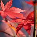 Autumn Maple by Kaye Menner