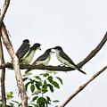 Baby Birds - Eastern Kingbird Family by Christina Rollo