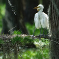 Baby Great Egrets With Nest by Rich Leighton