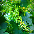 Backyard Garden Series - Young Grapes by Carol Groenen