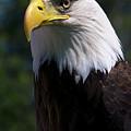 Bald Eagle by JT Lewis