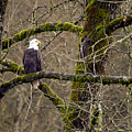 Bald Eagle On Mossy Branch by Sharon Talson
