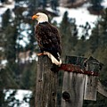 Baldy On A Post by Don Mann