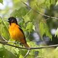 Baltimore Orioles  by Nancy TeWinkel Lauren