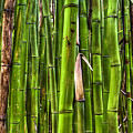 Bamboo by Dustin K Ryan