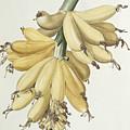 Bananas by Pierre Joseph Redoute