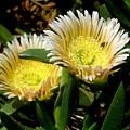 Beach Flower by Joyce Woodhouse