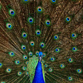 Beautiful Peacock by Larry Marshall