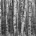Birch Stand by Ron Kochanowski - www.kochanowski.us