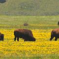 Bison Herd by Alan Lenk