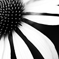 Black And White Flower Maco by Copyright Johan Klovsjö