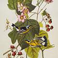 Black And Yellow Warbler by John James Audubon