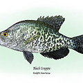 Black Crappie by Ralph Martens
